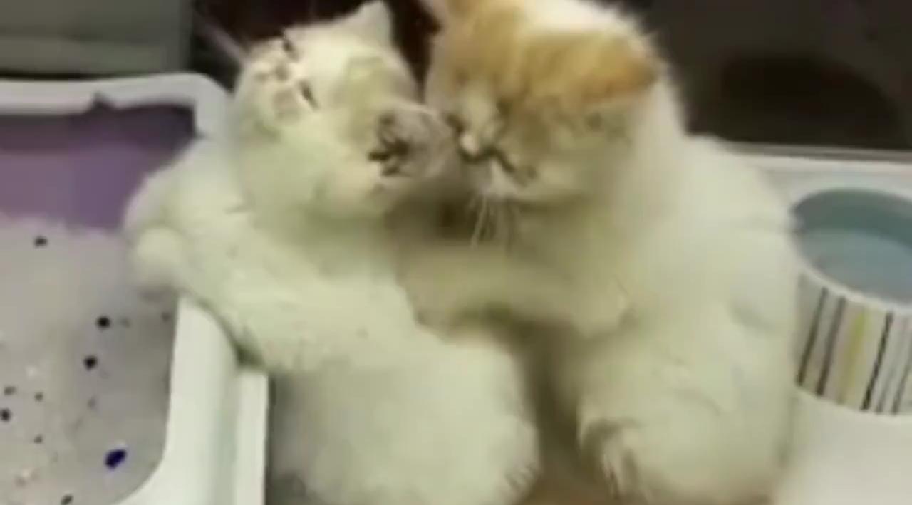 Il gatto più romantico del mondo massaggia la sua gattina