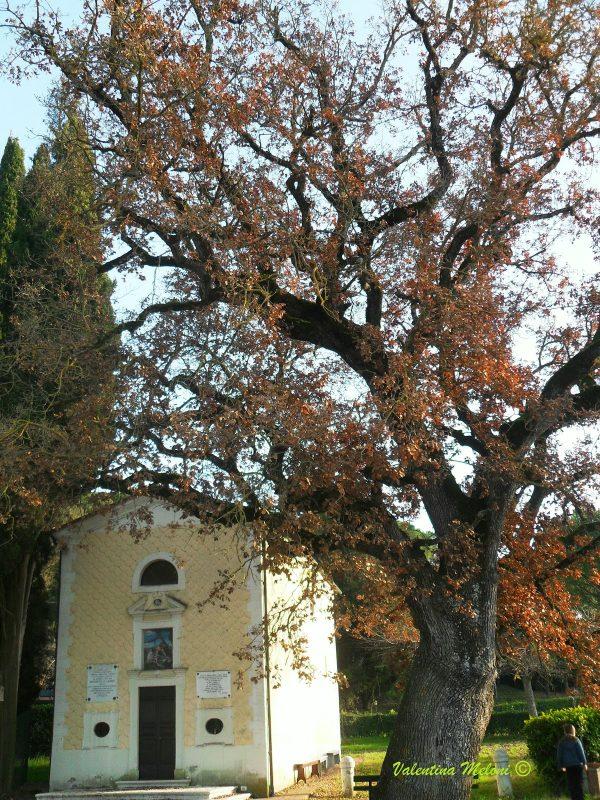 a Castiglione del Lago: piccola storia di una grande quercia