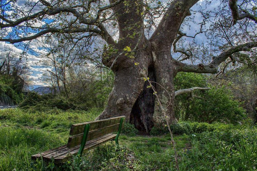 l'albero del Piccioni