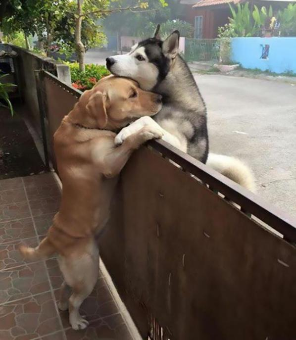 La foto abbraccio cani husky e labrador, virale sul web a testimonianza che l'amicizia non è cosa solo tra umani