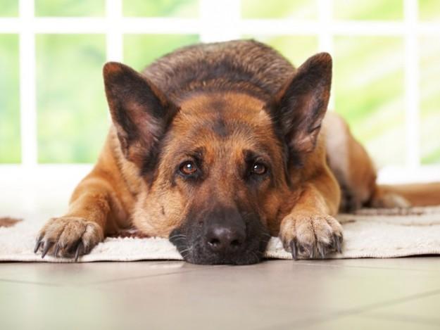 cuore di cane: l' amore e la legge
