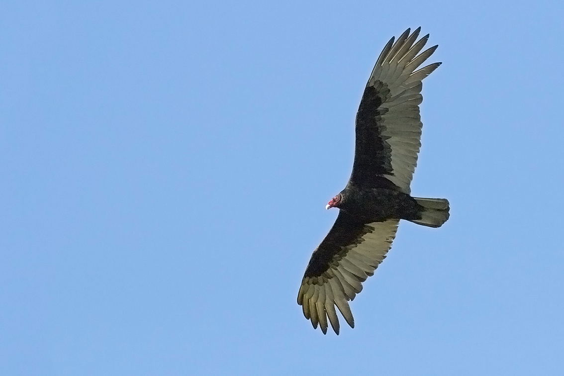 Avvoltoio Collorosso