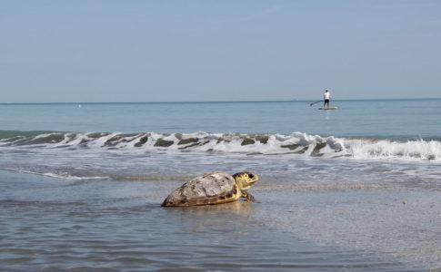 ALL'ISOLA D'ELBA arrivano le tartarughe: è tempo di tartalove