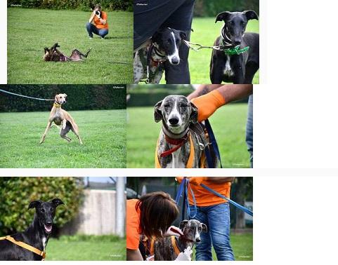 Pet Levrieri: Dopo i greyhound e i lurcher anche 21 galgo sono arrivati in Italia. Tutti adottati