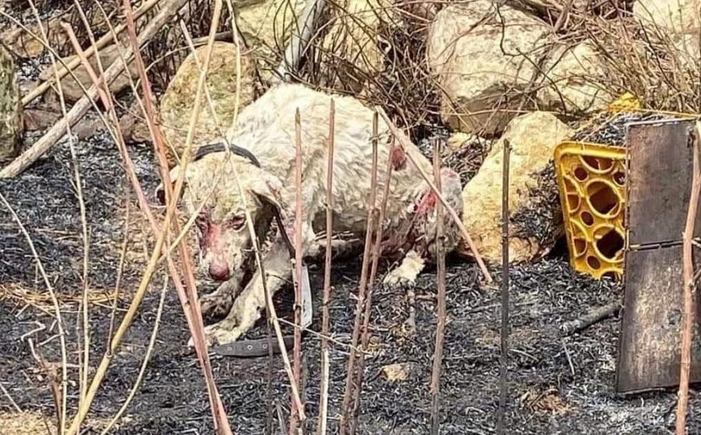 Sardegna, cane pastore fermo davanti alle fiamme per difendere le