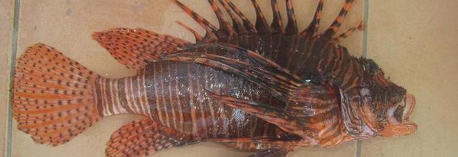 Paura nelle acque italiane, arriva il pesce scorpione: uccide!