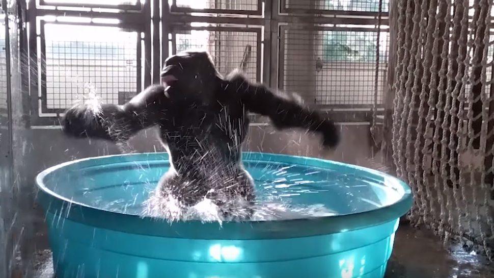 Zola il gorilla che balla la breackdance in acqua, ha conquistato il web