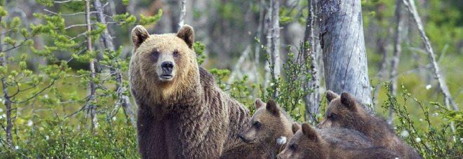 L'orso Mario in fuga per la bella Yoga, un'incredibile storia d'amore