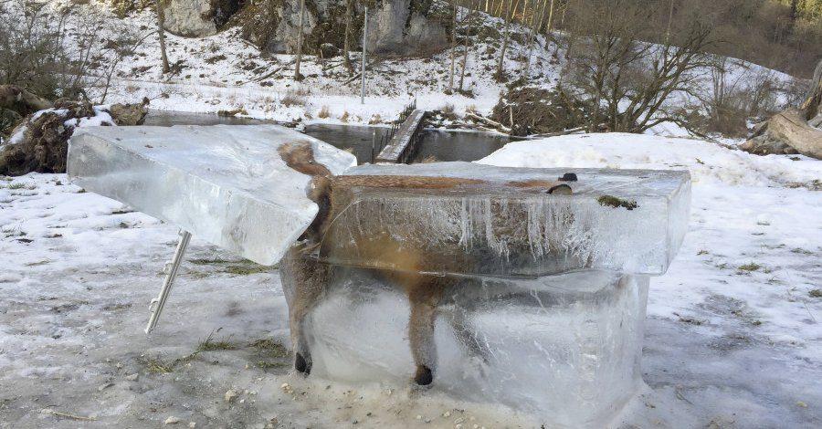 La volpe tenta di attraversare il Danubio, resta congelata