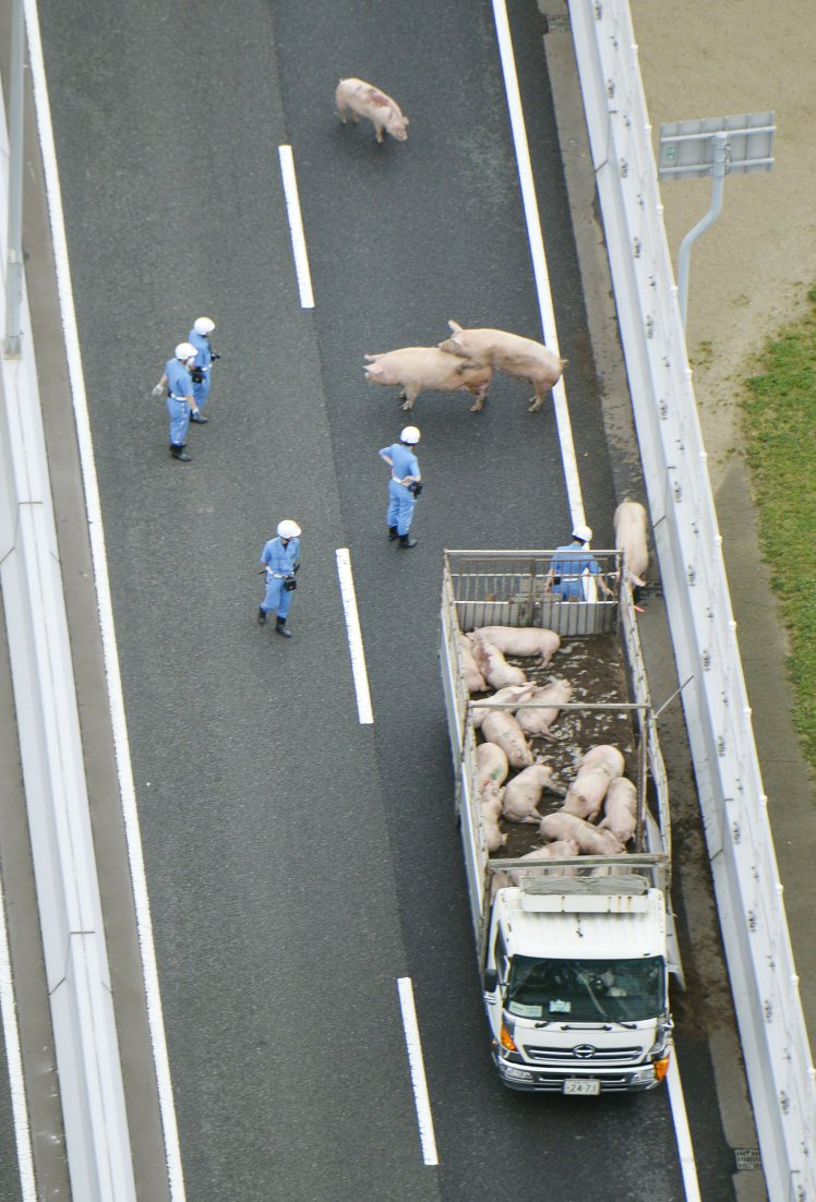 Camion si schianta e scappano i maiali