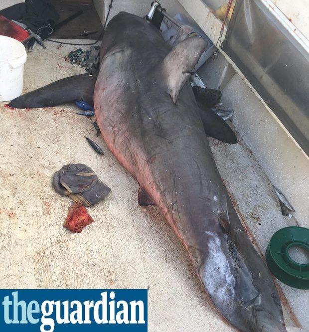 Uno squalo bianco di oltre 2 metri salta dentro la barca, paura per un pescatore