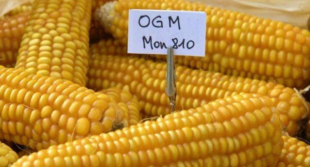 Perchè queste notizie i Tg non le danno? Costretti a mangiare OGM per legge! La Corte Europea IMPONE gli OGM in Italia!