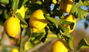 Il Citrus limon per migliorare pelle, unghie e capelli.