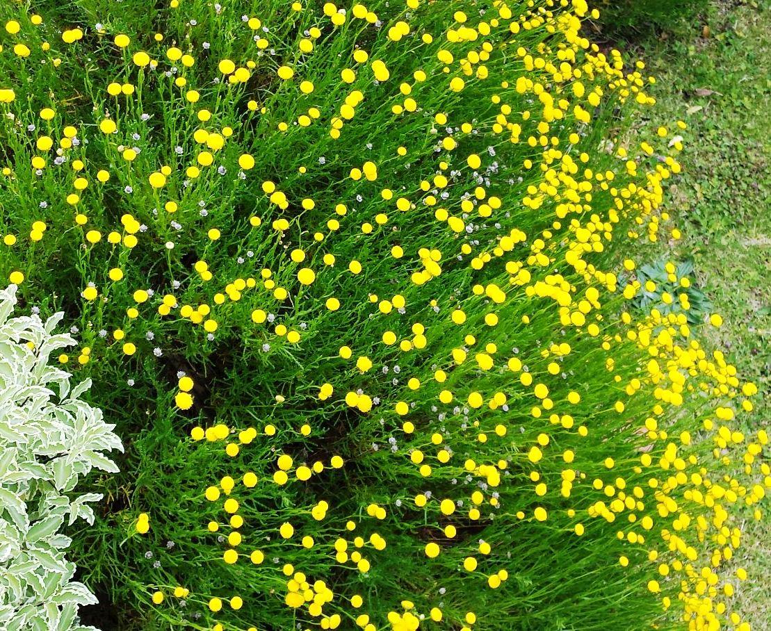 La Santolina pianta antiossidante.