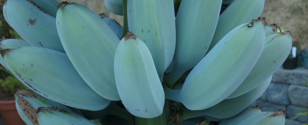 Banana blu di Java, il frutto al gusto di vaniglia.